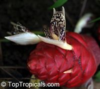 Zingiber newmanii, Red Frogs Ginger  Click to see full-size image