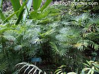 Rhapis multifida, Finger Palm  Click to see full-size image