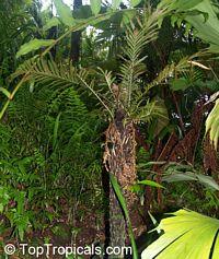 Blechnum gibbum, Dwarf Tree Fern, Silver Lady Fern Click to see full-size image