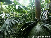 Licuala sp., Ruffled Fan palm  Click to see full-size image