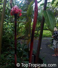 Etlingera elatior, Phaeomeria speciosa, Nicolaio elatior, Torch Ginger  Click to see full-size image