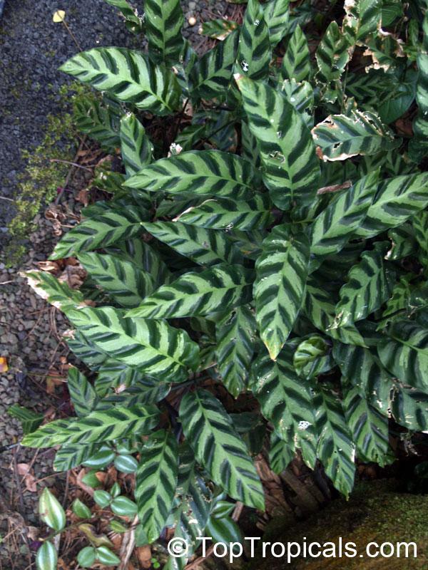 Calathea lietzei calathea Calathea plants for sale