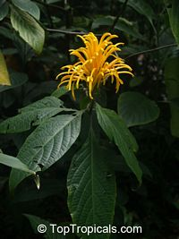 Justicia aurea - Yellow Jacobinia  Click to see full-size image