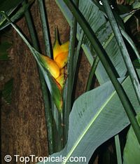 Heliconia caribaea, Lobster Claw, Parrot Beak