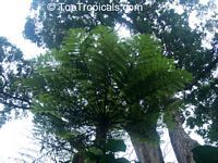 Cyathea sp., Tree Fern  Click to see full-size image