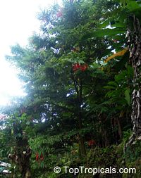 Amherstia nobilis, Pride of Burma, Orchid Tree