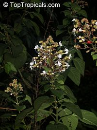 Clerodendrum sp., Clerodendron  Click to see full-size image
