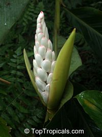 Alpinia malaccensis, Rathkihiriya  Click to see full-size image
