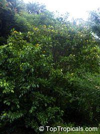 Gardenia carinata, Gardenia coronaria, Golden Gardenia, Malaysian Tree Gardenia  Click to see full-size image