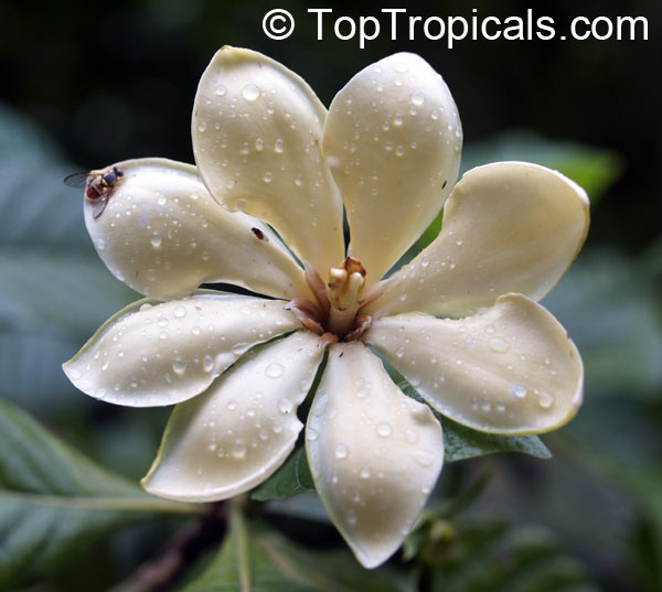 Gardenia carinata, Gardenia coronaria, Golden Gardenia, Malaysian Tree ...
