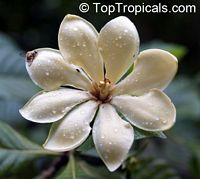 Gardenia carinata - Golden GardeniaClick to see full-size image