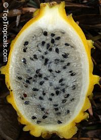 Selenicereus megalanthus - Yellow Pitaya, Dragon Fruit