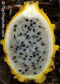 Selenicereus megalanthus - Yellow Pitaya, Dragon FruitClick to see full-size image