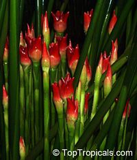 Etlingera cv. Ninole Red, Malay Rose  Click to see full-size image