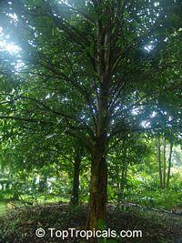 Canarium ovatum, Pili Nut  Click to see full-size image