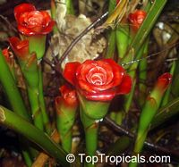 Etlingera corneri, Rose of Siam  Click to see full-size image