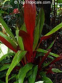 Pitcairnia sanguinea, Bromeliad  Click to see full-size image