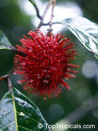 Nephelium lappaceum, Euphoria nephelium, Dimocarpus crinita, Rambutan  Click to see full-size image