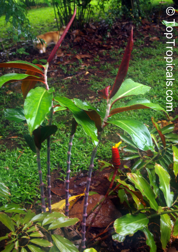 Costus Sp Spiral Ginger Toptropicals Com