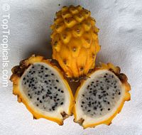 Selenicereus megalanthus, Pitaya, Pitahaya, Dragon Fruit, Strawberry Pear  Click to see full-size image