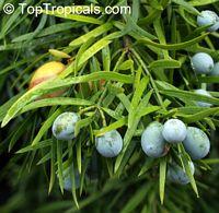 Podocarpus macrophyllus, Buddhist Pine, Chinese Yew, Kusamaki, Inumaki  Click to see full-size image