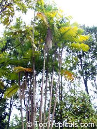 Euterpe oleracea, Asai, Assai, Acai, Cabbage Palm, Pina PalmClick to see full-size image