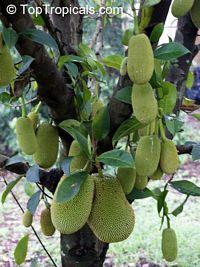 Artocarpus x integer (Jackfruit x Chempedak), Cheena cv. TopTropicals  Click to see full-size image