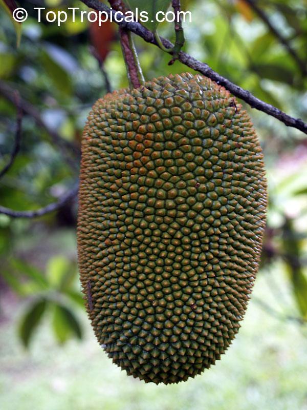 breadnut tree