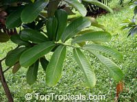 Monodora myristica, Calabash Nutmeg, Jamaica Nutmeg  Click to see full-size image
