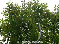 Canarium odontophyllum, Dabai  Click to see full-size image