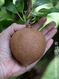 Achras (manilkara) zapota - Sapodilla Oxkutzcab, Air-layered   Click to see full-size image