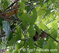 Saba comorensis, Landolphia comorensis, Mbungu, White Rubber Vine, VbunduClick to see full-size image