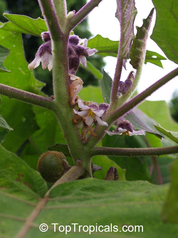 Solanum quitoense, Sol...