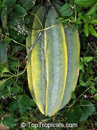 Telfairia occidentalis, Fluted Pumpkin, Oysternut, Ugu  Click to see full-size image