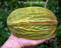 Theobroma bicolor, White cacao, Macambo, MoteloClick to see full-size image