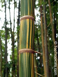Bambusa sp., Common bamboo