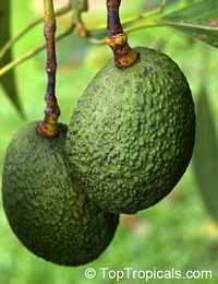 Persea americana - Avocado Wurtz, Dwarf - 3 gal pot, Grafted