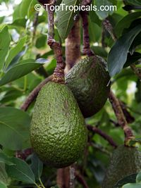 Persea americana, Persea gratissima, Avocado, Alligator Pear, Aguacate, Abacate  Click to see full-size image