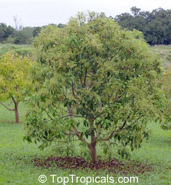 persea americana persea gratissima avocado alligator pear aguacate abacate click to - Growing Avocado Trees