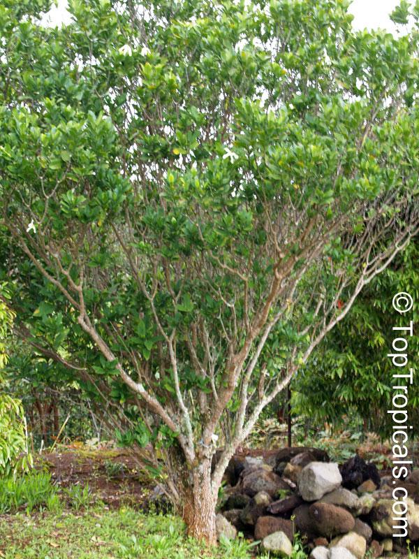 Tabernaemontana Africana Samoan Gardenia Toptropicals Com