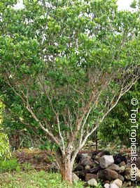 Tabernaemontana africana, Samoan Gardenia