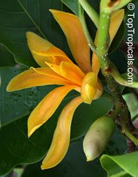 Magnolia (Michelia) champaca Yellow - Joy Perfume Tree, 3 gal pot  Click to see full-size image