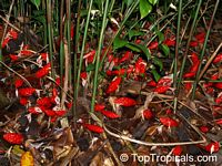 Zingiber peninsulare, Red Thai Ginger  Click to see full-size image