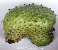 Annona muricata, Soursop, Guanabana, Graviola