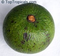 Persea americana - Avocado Marcus Pumpkin, Grafted  Click to see full-size image