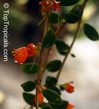 Nematanthus sp., Gold Fish, Guppy Plant  Click to see full-size image