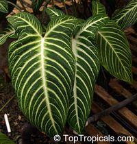 Caladium lindenii, Xanthosoma lindenii Magnifica, Angel's Wing  Click to see full-size image