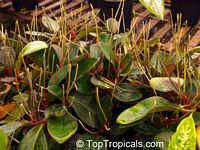 Peperomia clusiifolia, Peperomia obtusifolia var. clusiaefolia, Red Edge Peperomia  Click to see full-size image