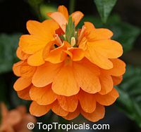 Crossandra undulifolia Orange Mona Wallhead  Click to see full-size image