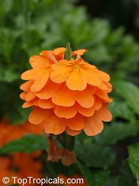 Crossandra undulifolia OrangeClick to see full-size image